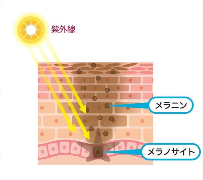 日焼け止めの選び方 メラニンとメラノサイト